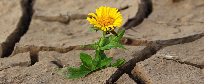 Dandelion growing in dry earth image